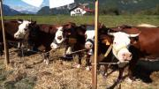 De jeunes agriculteurs perpetuent la tradtion à Domancy
