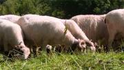 Les Pays de Savoie misent sur la filière ovine