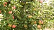 La cueillette des pommes et des poires sera bonne cette année !