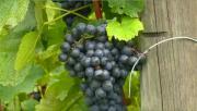 Grand format : Les vins en Pays de Savoie
