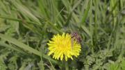 Le parc de la Vanoise s'engage pour l'abeille noire
